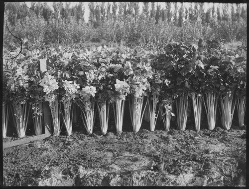 Celery field, A. S. Parsons farm, Garden City, Finney County, Kansas - Page