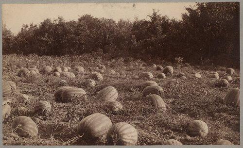 Watermelon patch, Washington County, Kansas - Page