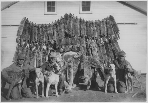 Coyote pelts in Gray County, Kansas - Page