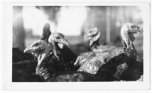 Turkeys, Gray County, Kansas - Page