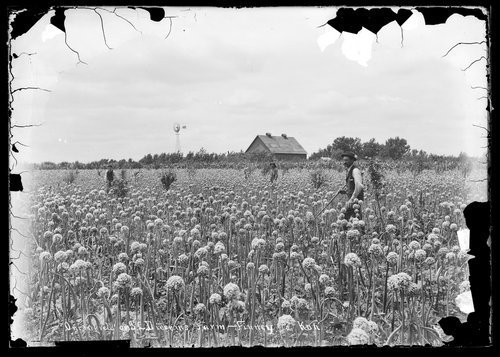 Onion field on I.L. Diesem's farm, Finney County, Kansas - Page