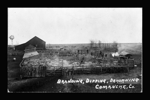 Branding, dipping, and dehorning cattle, Comanche County, Kansas - Page
