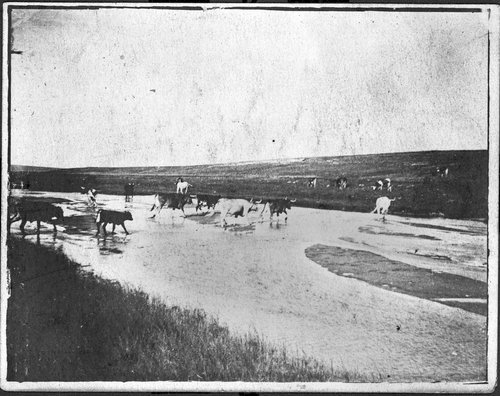 Cattle drive in Sheridan County, Kansas - Page