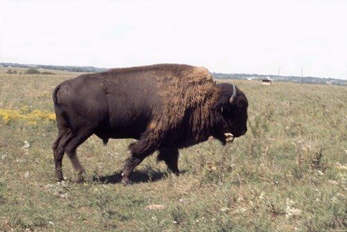 Bison on the Tall Grass Bison Ranch near Auburn, Kansas - Page