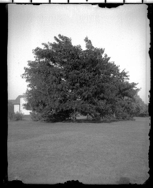 Honey Locust trees - Page