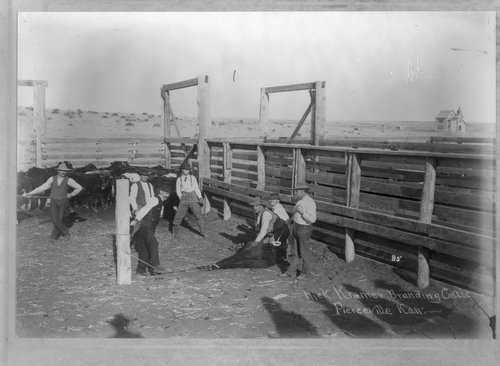 Branding cattle on the Nick Kramer Ranch, Pierceville, Finney County, Kansas - Page