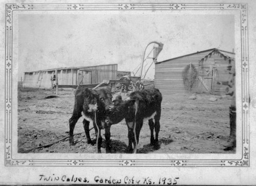 Twin calves, Finney County, Kansas - Page