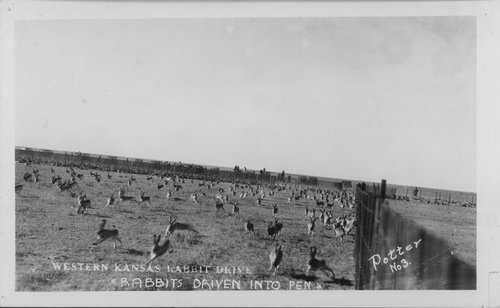 Rabbit drive in Western Kansas - Page