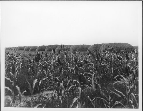 Wheat and sorghum in Greeley County, Kansas - Page