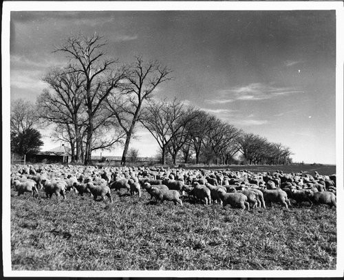 Sheep - Page
