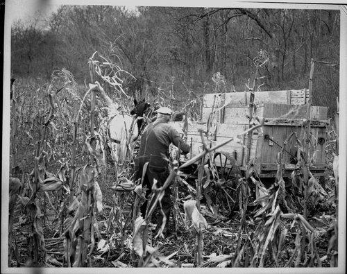 Harvesting corn, Ozawkie, Kansas - Page