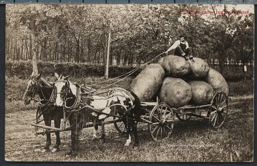 Potatoes grow big in Kansas - Page