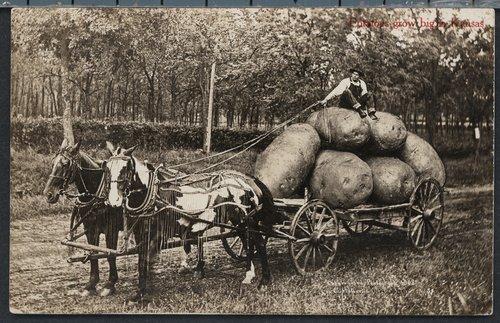 Potatoes grow big in Kansas - Page