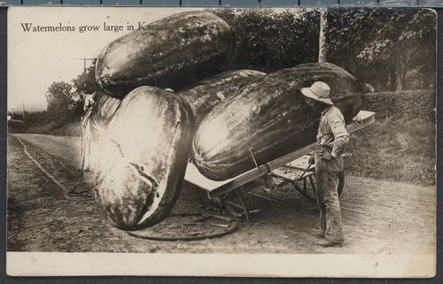 Watermelons grow large in Kansas - Page