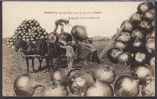 Harvesting a profitable crop of onions in Kansas - Page