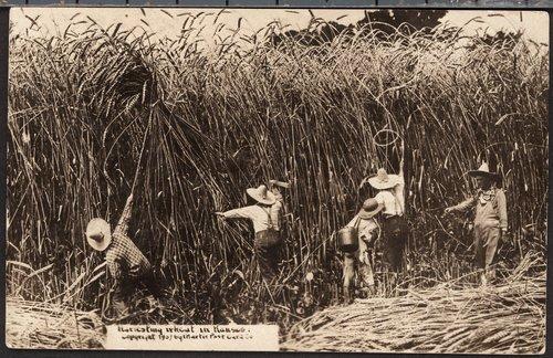 Harvesting wheat in Kansas - Page