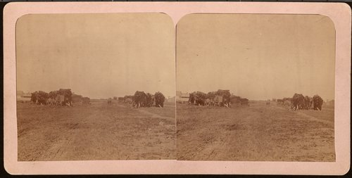 Bull train carrying buffalo hides in Dodge City, Kansas - Page