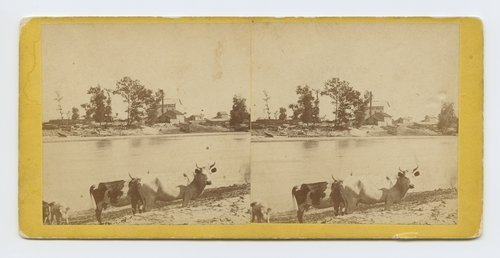 View of Darling's Mills Lawrence Kansas. (Cattle in foreground) 323 miles west of St. Louis Mo. - Page