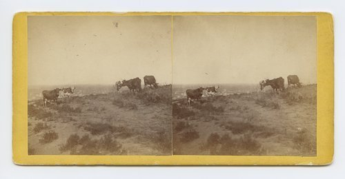 Cattle grazing on Mount Oriad [i.e. Oread], Lawrence, Kansas. 323 miles west of St. Louis, Mo. - Page