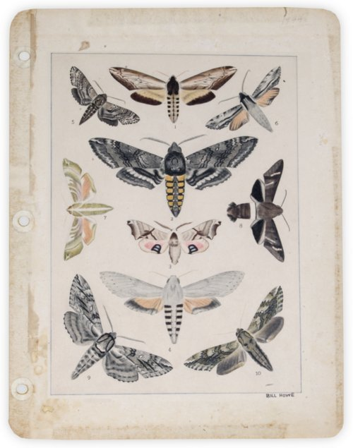 Sphinx Moths - Page