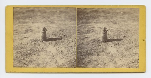 Prairie dog, at prairie dog town, Abilene, Kansas. 447 miles west of St. Louis Mo. - Page
