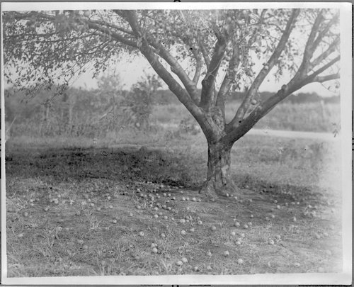 Apple tree, Shawnee County, Kansas - Page