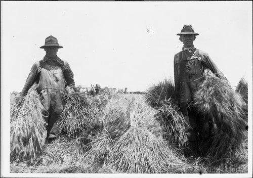 Wheat harvest, Sedgwick, Kansas - Page