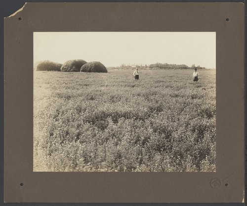 Alfalfa field in Finney County, Kansas - Page