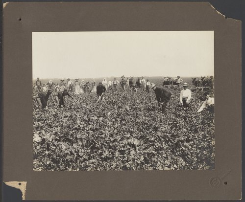 Beet field near Garden City, Kansas - Page