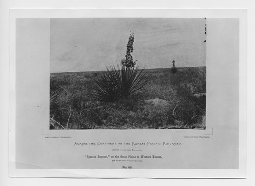 Spanish Bayonet on the Great Plains of Western Kansas - Page