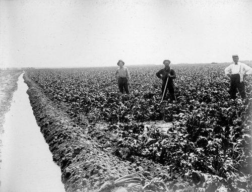 Mr. Livingston's beet field in Finney County, Kansas - Page