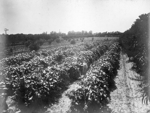 Mr. Logan's vineyard, five years old, in Finney County, Kansas - Page