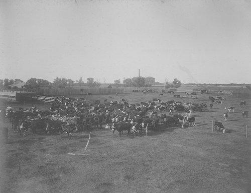 Fattening cattle on beet pulp in Garden City, Kansas - Page