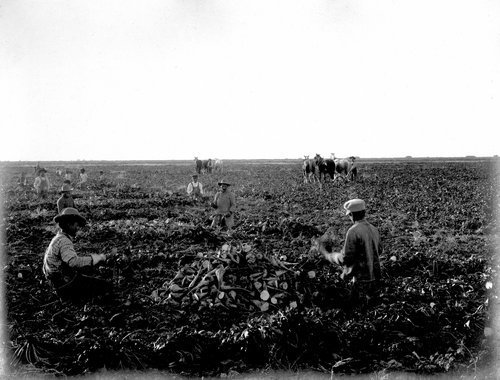 Laborers harvesting beets in Finney County, Kansas - Page