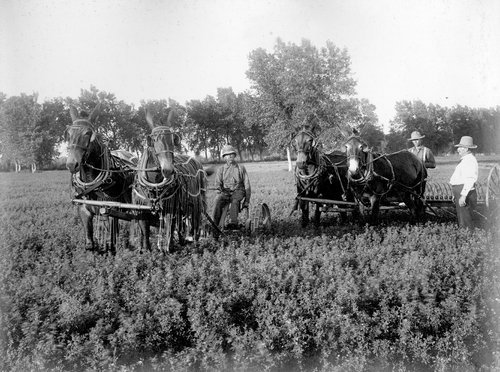 Over three ton of mules here on Mr. Coulter's farm in Finney County, Kansas - Page