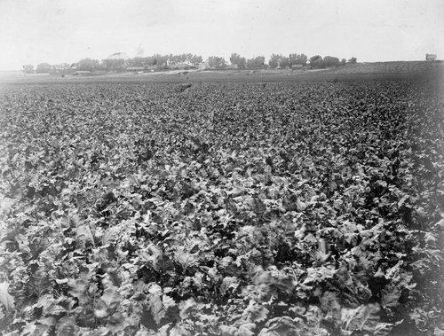 McKinney's beet field in Finney County, Kansas - Page