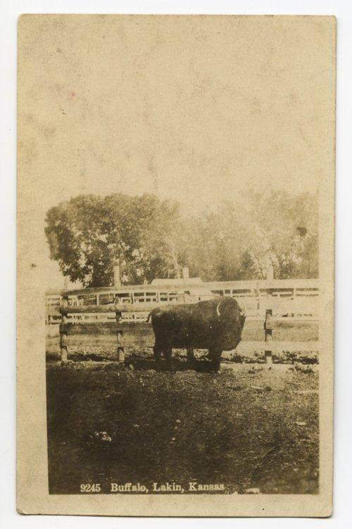 American bison in Lakin, Kansas - Page