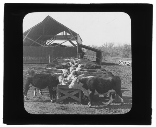 Hereford cattle feeding pens, Manhattan, Kansas - Page