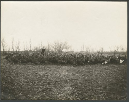 Woman with a flock of turkeys in Seward County, Kansas - Page