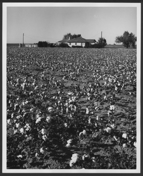 Cotton field - Page