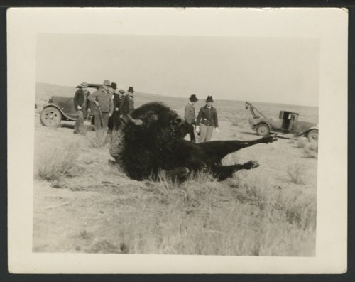 Shooting a bison at Meade Park near Liberal, Kansas - Page