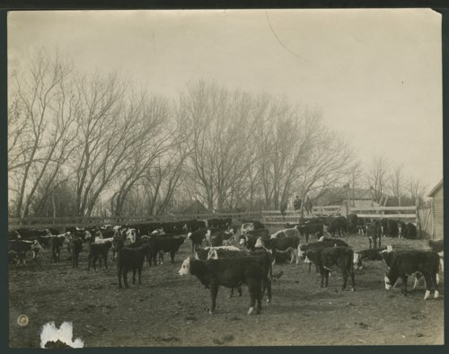 Cattle in a corral in Seward County, Kansas - Page