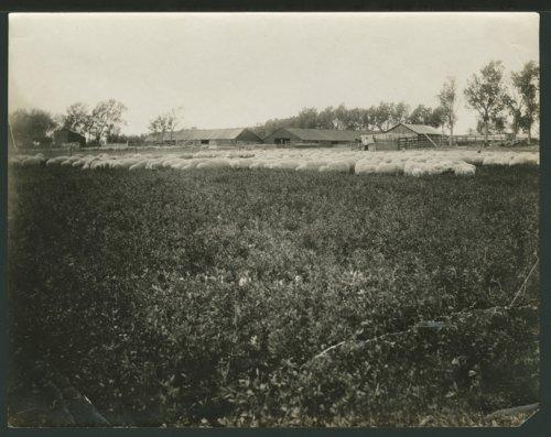 Sheep ranch in Seward County, Kansas - Page