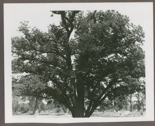Views of the Custer Elm tree in Council Grove, Kansas - Page