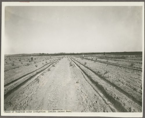 Field of tomatoes under irrigation at Prison Island Farm, Lansing, Kansas - Page