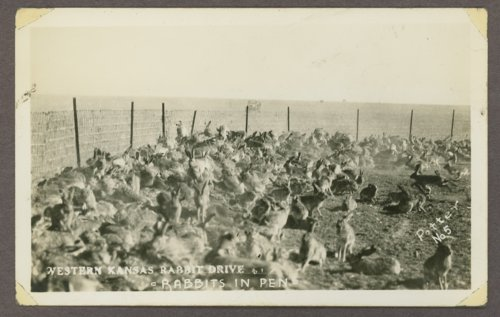 Rabbits in a pen in Western Kansas - Page