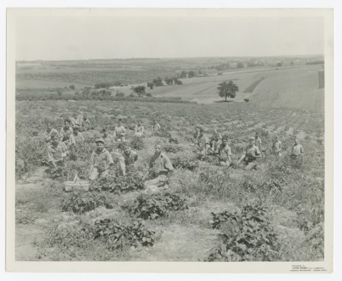 Strawberry picking at the State Orphans Home, Atchison, Kansas - Page