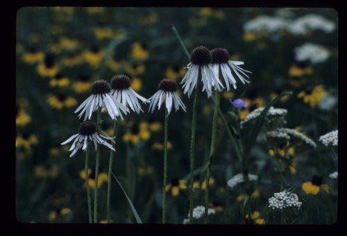 Wild flowers in the Flint Hills - Page