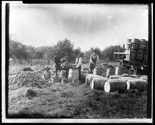 Apple harvest at Edward L. Knapp's Spring Glen Farm in Maple Hill, Kansas - Page