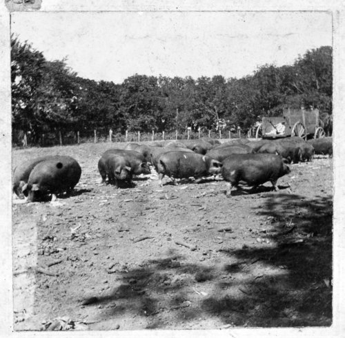 Sows at Rogler Ranch - Page